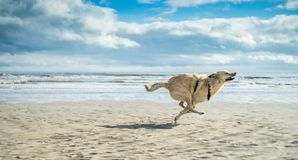 When joy & freedom have a name, Tzuki. Sun and low tide make room for dogs to run wild, as Tzuki the dog does Stock Image