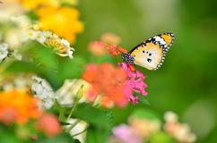 Joy of garden (butterfly) Stock Photos