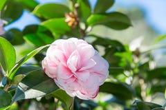 Joy Kendrick camellia Royalty Free Stock Photography