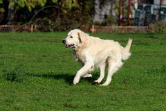 Joy Of Life / Freedom / Golden Retriever Runs Royalty Free Stock Photo