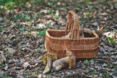 Joy of mushroom picker. Fresh porcini mushrooms in forest. Stock Images