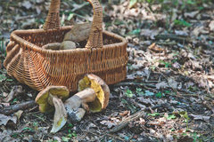 Joy of mushroom picker. Fresh porcini mushrooms in forest. Royalty Free Stock Image