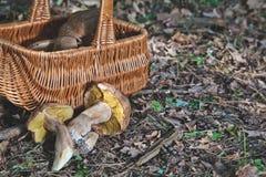 Joy of mushroom picker. Fresh porcini mushrooms in forest. Royalty Free Stock Photos
