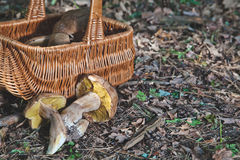 Joy of mushroom picker. Fresh porcini mushrooms in forest. Stock Photo
