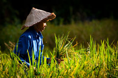 JOY IN THE RICE FIELD Stock Photography