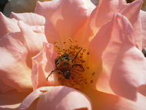 Joy. Unusuall bug in rose flower Royalty Free Stock Image