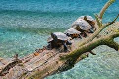 joyería Amarillo-hinchada de la tortuga Fotografía de archivo