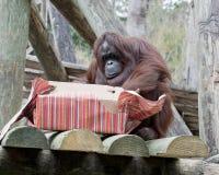 Joyeux Noël, orang-outan image libre de droits