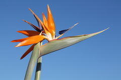 Single Bird of Paradise Flower Against a Blue Sky Stock Photography