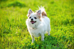 Joyful Chihuahua dog on green lawn background Royalty Free Stock Images
