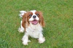 Joyful dog on a lawn Royalty Free Stock Photography