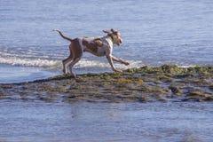 Joyful dog running towards the ocean along the surface of emerging tidal pool stock photos