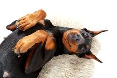 Joyful lying dog on white carpet Stock Photos