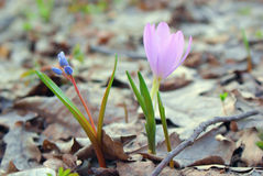 Joyful meeting of two flowers in early spring, blue and pink Stock Image