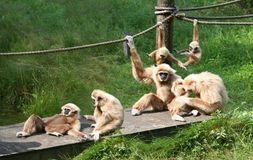 Joyful Monkey Family. A bid family of monkeys playing around and enjoining themselves Royalty Free Stock Photos