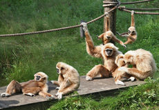 Joyful Monkey Family. A bid family of monkeys playing around and enjoining themselves Stock Photography
