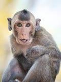 Joyful monkey. A smiling gray-brown monkey Stock Photo