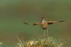 Joyful. Rufous-naped lark singing on tuff of grass Royalty Free Stock Image