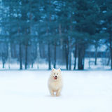 Joyful white Samoyed dog running on snow at winter day over empty copy space background trees forest Stock Photo