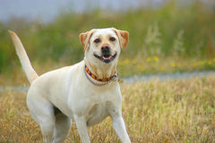 Joyful yellow lab stock photo