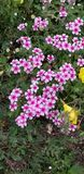 Joyous Chorus Of Pink royalty free stock image