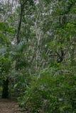 Jozani森林,桑给巴尔,坦桑尼亚茂盛植物  免版税库存照片