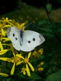JPG自然蝴蝶vlinder 图库摄影