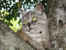Jpg grigio delle illustrazioni di Persifona del gatto degli animali liberi della foto Immagini Stock Libere da Diritti