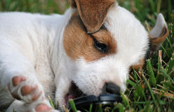 Who Stole the Lens Cap?. Tiny white Jack Russell Terrier puppy with brown markings chewing on a lens cap laying on grass. Close-up Stock Images