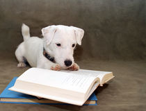 The Intelligent Puppy. White Jack Russell Terrier puppy staring very intently at an open book as if he was reading a great book. On a mossy green background Stock Photos