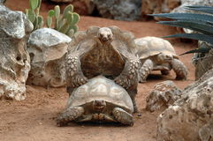 jätte- reproduktionssköldpaddor Arkivfoton