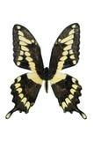 jätte- swallowtail Royaltyfri Bild