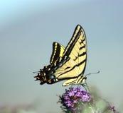 jätte- swallowtail Royaltyfri Foto