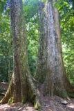 Jätte- träd Royaltyfri Bild
