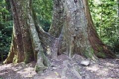 Jätte- träd Arkivfoton