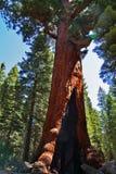 jätte- tree Royaltyfri Bild