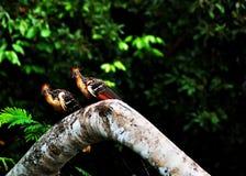 ju för amazon fågelhoatzin Arkivfoto