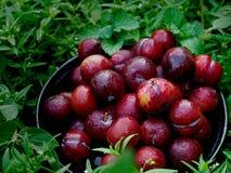 Ju-Li della prugna la frutta è simile alle specie rosse di Luang di divieto Ma il risultato sarà più piccolo fotografia stock