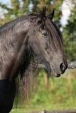 Juba longa da sagacidade bonita do cavalo do frisão imagens de stock
