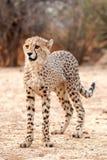 jubatus гепарда младенца acinonyx Стоковое Фото