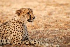 jubatus гепарда acinonyx Стоковые Фото