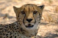 jubatus гепарда acinonyx стоковое фото rf