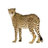 jubatus гепарда acinonyx стоковая фотография rf