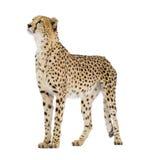 jubatus гепарда acinonyx Стоковое Фото