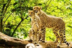 Jubatus Acinonyx 2 гепардов стоковые изображения rf