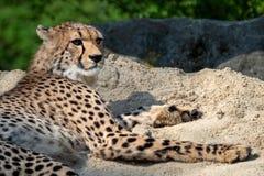 Jubatus Acinonyx портрета гепарда стоковые фотографии rf