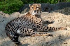 Jubatus Acinonyx портрета гепарда стоковое фото