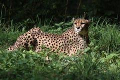 Гепард, jubatus Acinonyx, красивое млекопитающееся животное в зоопарке стоковые фото