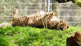 Jubatus die van jachtluipaardacinonyx in de ochtend op het gras zonnebaden Rust na ontbijt stock afbeeldingen