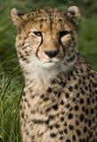 jubatus för acinonyxbotswana cheetah Arkivfoton